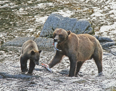 """Anan Creek in Alaska is one of the very few places where you can find black and brown bears both fishing for salmon, somewhat cooperatively. No bears are completely cooperative when it comes to fishing but let's say very tolerant of each other as long as everyone respects their """"space"""" in the water."""