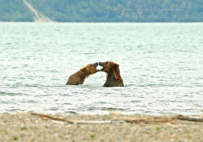 You would have thought these bears were a couple of teenagers the way they played with each other in the water.
