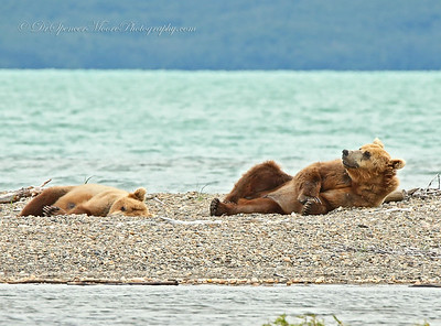 We took a boat ride while in Katmai NP to view more bears as they moved to other areas of the park. This is the older couple of very large brown bears that were napping on the beach as we drove up on Naknek Lake, at the mouth of Margo Creek. The salmon were so thick there were areas of the lake that were black, as they approached the creek.