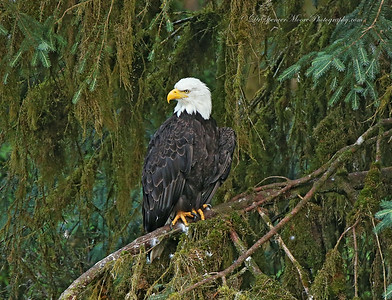 I know we have eagles in Waco, but check out the Alaskan forest this fellow lives in. Wow.