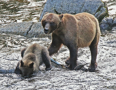 This little yearling brown bear was acting like he was fishing on Anan Creek Alaska. He never came close to catching anything though.