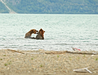 This was a younger couple that wandered up, playing with each other in the same fashion. They never noticed the older bears until the large male dispatched them from the area, and they left very quickly.