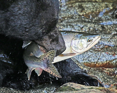 A fresh catch of Pink Salmon, straight out of the Anan Creek, Alaska. Once your caught in the jaws of a large bear, there's no getting loose.