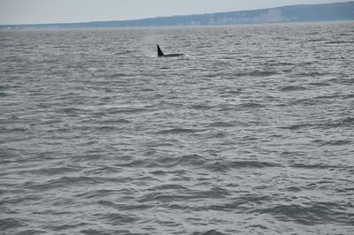 Alaska-July 2018 Orcas