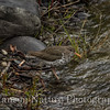 Spotted Sandpiper - Old Denali Hwy, Ak