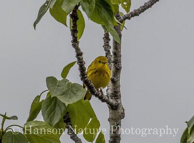 Yellow Warbler - Old Denali Hwy, Ak