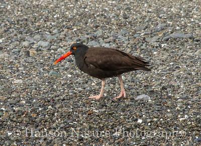 Black Oystercatcher - Cohen Island, Homer, Ak