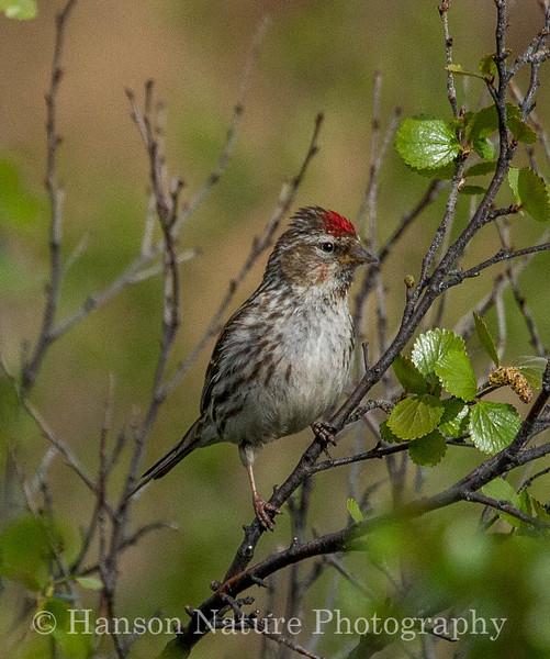 Common Redpoll - Old Denali Hwy, Ak