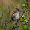 Common Redpoll - Old Denali Hwy, Ak