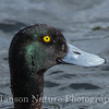 Greater Scaup - Westchester Lagoon, Anchorage, Ak