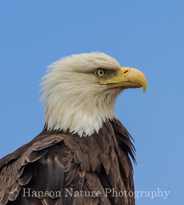 Bald Eagle - Homer, Ak