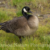 Canada Goose - Potter Marsh, Anchorage, Ak