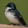 Tree Swallow - Potter Marsh, Anchorage, Ak