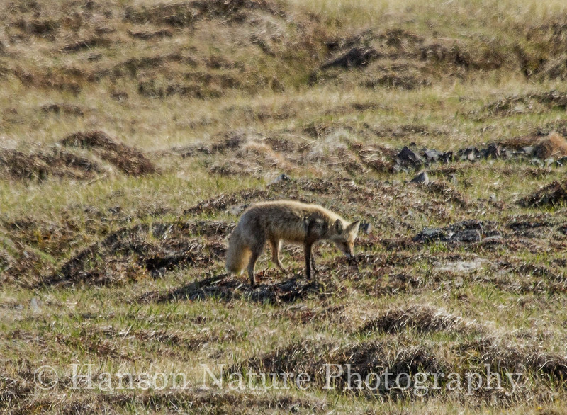 Gray Fox - Nome, Ak