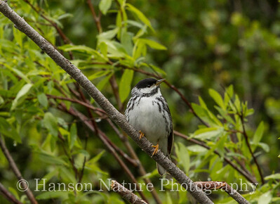 Blackpoll Warbler - Old Denali Hwy, Ak
