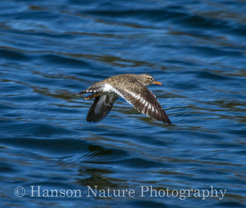 Spotted Sandpiper - Jerome Lake, Seward Hwy