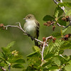 Alder Flycatcher - Potter Marsh, Anchorage, Ak