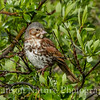 Fox Sparrow - Old Denali Hwy, Ak