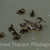 Green-winged Teal - Westchester Lagoon, Anchorage, Ak