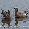 American Widgeon - Potter Marsh, Anchorage, Ak