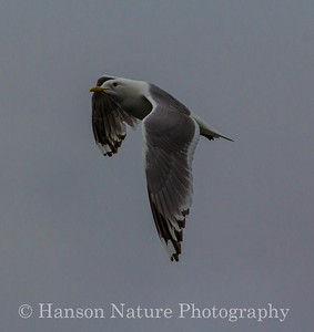 Mew Gull - Old Denali Hwy, Ak