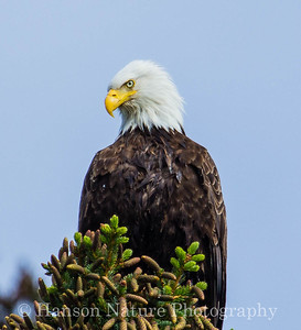 Bald Eagle - Cohen Island, Homer, Ak