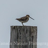 Wilson's Snipe - Barrow, Ak, this is for my friends who have never seen a shorebird sit up on a pole