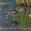 Lesser Yellowlegs - Westchester Lagoon, Anchorage, Ak