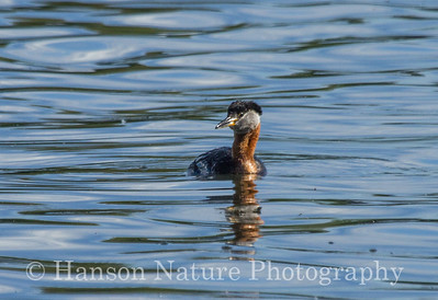 Red-necked Grebe - Spenard Lake, Anchorage Alaska