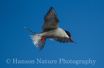 Arctic Tern - Potter Marsh, Anchorage Alaska