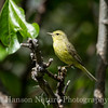 Orange-crowned Warbler - Westchester Lagoon, Anchorage, Ak