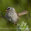 White-crowned Sparrow - Old Denali Hwy, Ak