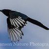 Black-billed Magpie - Westchester Lagoon, Anchorage, Ak