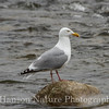 Herring Gull - Old Denali Hwy, Ak
