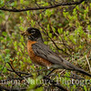 American Robin - Old Denali Hwy, Ak