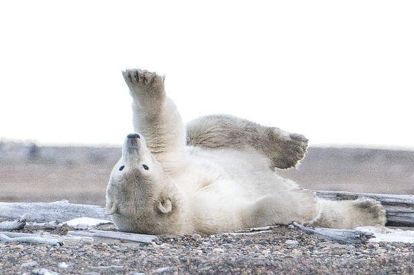 Alaska, Polar Bears,