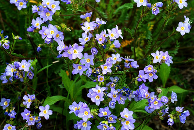 Forget-Me-Nots, the state flower of Alaska