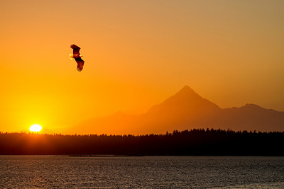 A Bald Eagle soars over Monti Bay, Yakutat, Alaska as Mt. St. Elias (18,008 ft.) provides a majestic backdrop at sunset from the deck at the Blue Heron Inn.