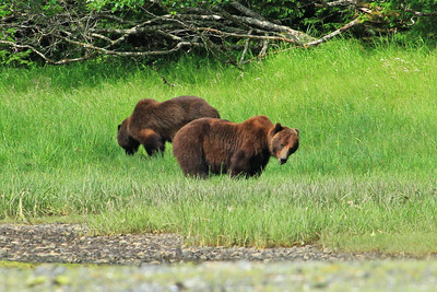 Grizzly Bears gazing and grazing on shores of Klag Bay along the panhandle of SE Alaska