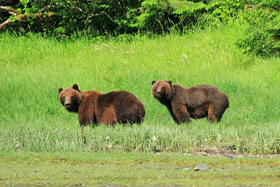Two Grizzly Bears gazing and grazing on shores of Klag Bay along the panhandle of SE Alaska