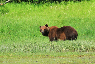 Grizzly Bear gazing and grazing on shores of Klag Bay along the panhandle of SE Alaska