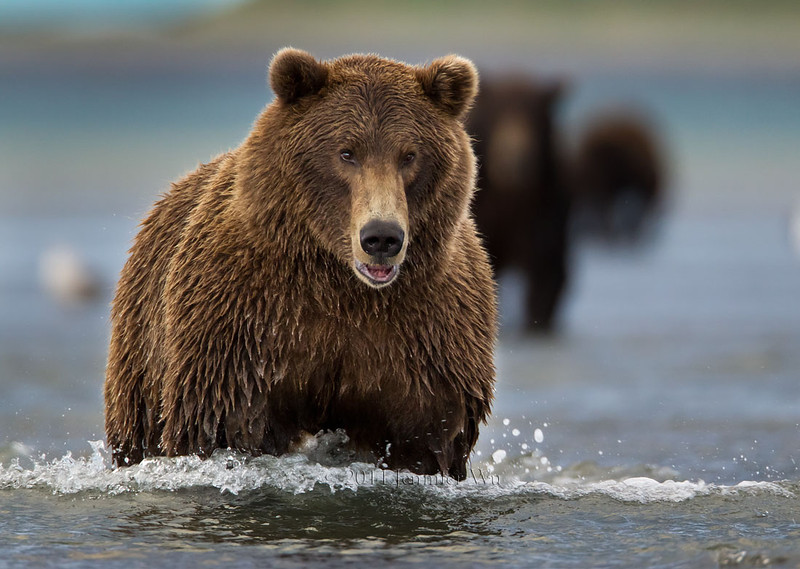 Costal Brown Bear (Grizzly Bear), Katmai National Park<br /> H7C9981