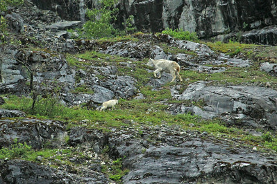 Mountain Goat and kid traverse a ledge high above the waters of Glacier Bay National Park near Gloomy Knob.