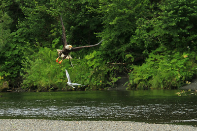 A bald eagle fishes along the Situk River in Yakutat, Alaska.