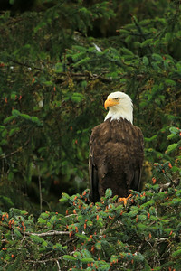 A noble bald eagle keeps a sharp eye out for a meal.