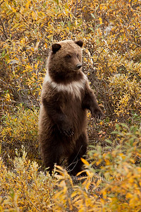 Grizzly bear club looking for Mom, Denali National Park MG_9320