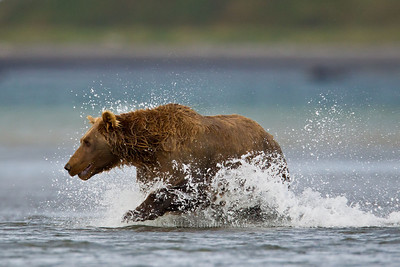 Brown Bear in Katmai National Park H7C0069