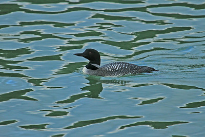Loon paddles the waters of Hugh Miller Inlet in Glacier Bay National Park showing off its spectacular plumage.