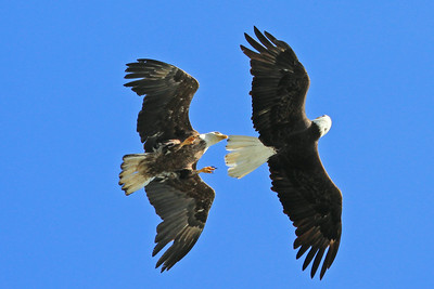 Eagles spar ? Or dance ?