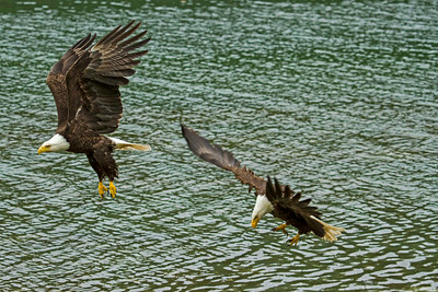 Bald Eagles lift off, displaying spectacular plumage.